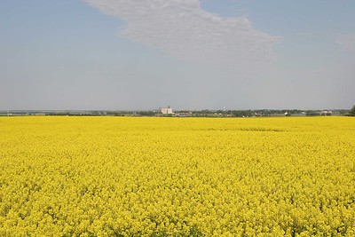 Canola field near the town of Max.  #8797