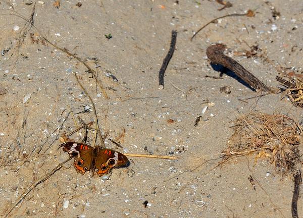 Common Buckeye Butterfly resting.    <em> Photo credit: Peggy Wilkinson</em>