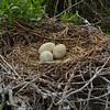 2014 Annual Census. Brown Pelican eggs. <em> Photo credit: Peggy Wilkinson</em>