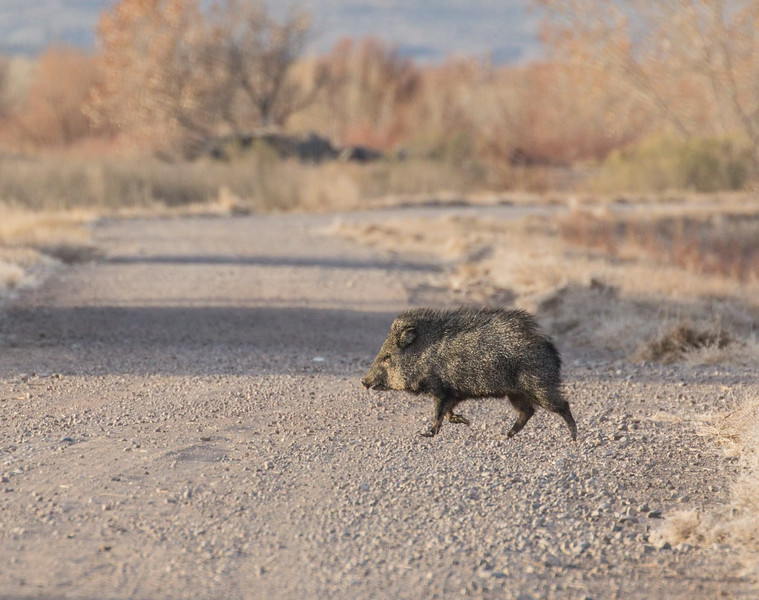 Javelina in a Hurry