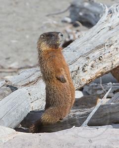 Marmot At Attention