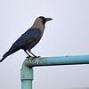 Huskråka - House Crow