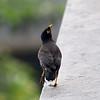 Brun majna - Common Myna