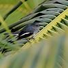 Orientshama - Oriental Magpie Robin