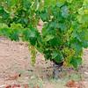 Vinplanta