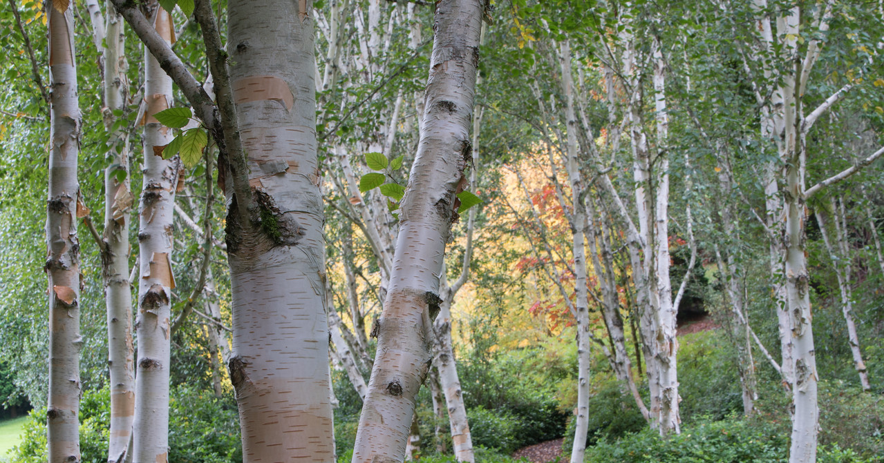 Birch at Bloedel Reserve