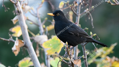 Eurasian blackbird male 4770x2683