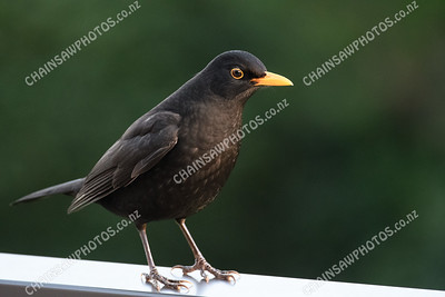 Eurasian blackbird male 5568x3712