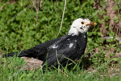 Leucistic blackbird 3657x2438