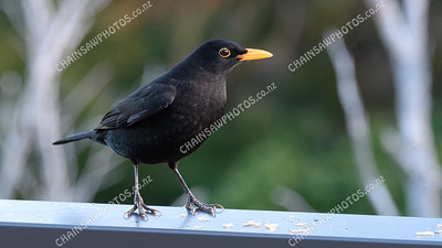 Eurasian blackbird male 4549x2559