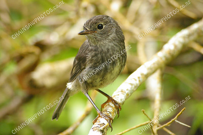 North Island Robin (Toutouwai) 3008x2000