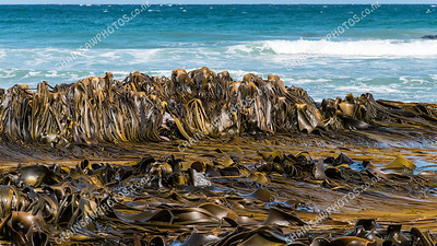 Kelp, Brighton Beach, Dunedin
