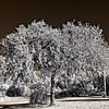 Orange Springs Tree in Infrared