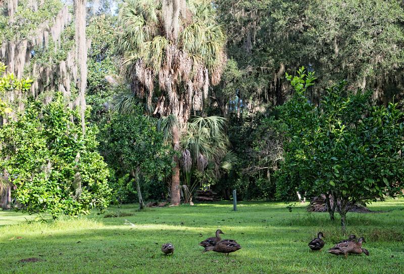 "Ducks in Marjorie Kinnan Rawlings, citrus grove, Cross Creek, Florida. Ms. Rawlings was the 1939 Pulitzer Prize -winning author of ""The Yearling."""