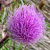 Thistle at Stony Bayou