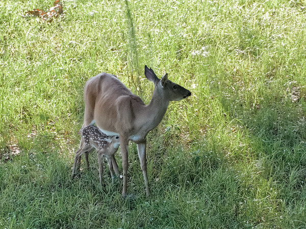 Doe Nursing Fawn on Paynes Prairie
