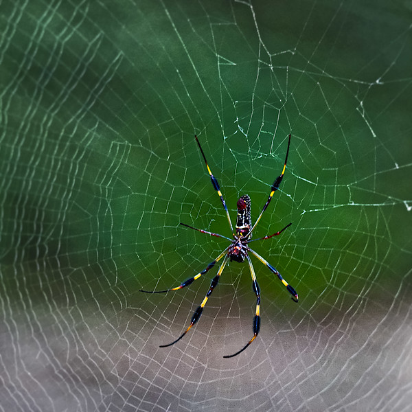 Washington Oaks Spider