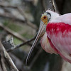Roseate Spoonbill at St. Augustine