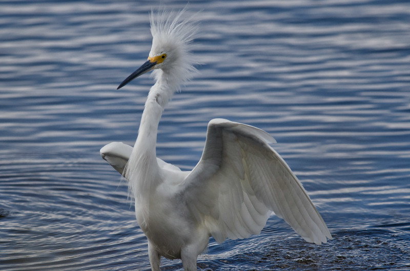 Great Egret at Merritt Island