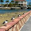 Laughing Gulls Posing on Wall at Hudson Beach