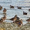 Ducks on The Beach