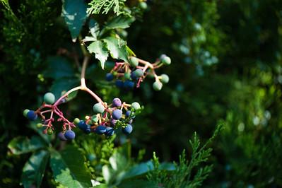 Berries-1001