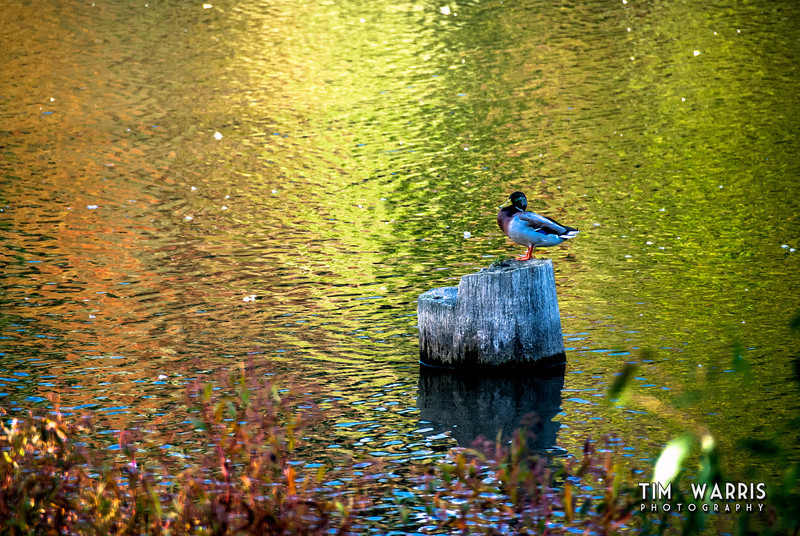 Stumped Duck.  Sitting in Silver Lake in the early evening of September, 2012  The water was very reflective, showing the colours of the trees reflecting into it.  I see why they call it Silver Lake.
