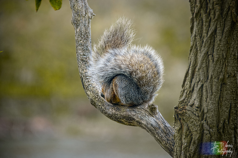 Curl 'o Squirrel.  It looks like this tree is sprouting a squirrel, somewhere under all that fur.