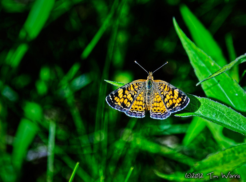 "A Pearl Crescent, Phyciodes tharos.  Or as I called it, an orange butterfly.<br /> <br /> <a href=""http://www.cbif.gc.ca/spp_pages/butterflies/species/PearlCrescent_e.php"">http://www.cbif.gc.ca/spp_pages/butterflies/species/PearlCrescent_e.php</a>"
