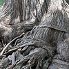 cypress roots, wimberly, tx