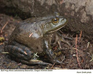 Bull Frog58984