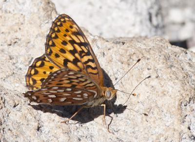 Butterfly43988