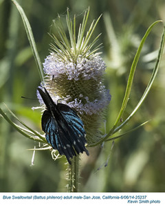 Blue Swallowtail M25237