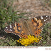 Painted Lady 97617