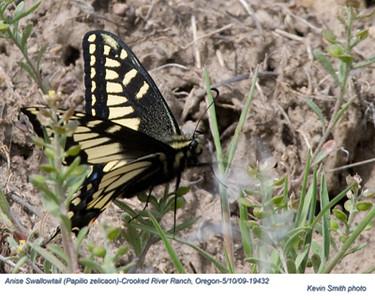 AniseSwallowtail19432