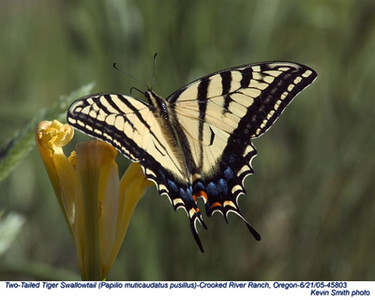 2TailedTigerSwallowtail45803