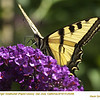 Western Tiger Swallowtail 25296