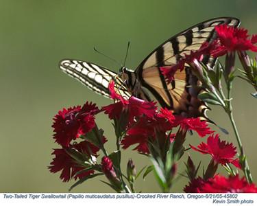 2TailedTigerSwallowtail45802