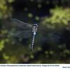 Blue-Eyed-Darner-A25052