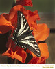 Western Tiger Swallowtail 24478
