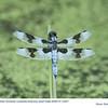 Eight-spottedSkimmerM13497