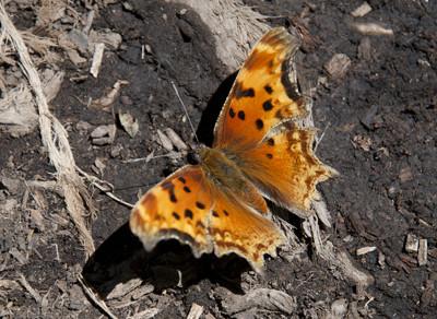 Butterfly49667