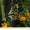 Western Tiger Swallowtail 24448
