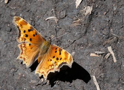 Butterfly49656