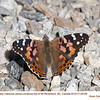 Painted Lady 26706