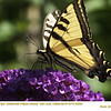 Western Tiger Swallowtail 25299