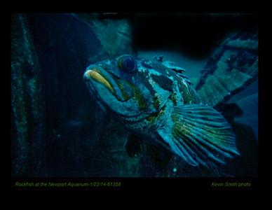 Rockfish 61358c