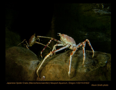 JapaneseSpiderCrabs61622c