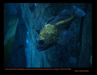 ChinaRockfish61396c