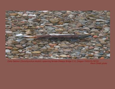Coho Salmon F76722
